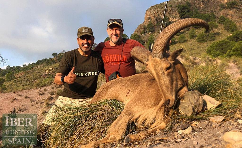 Aoudad Sheep 60cm