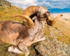 Hunting Altai Argali-mongolia
