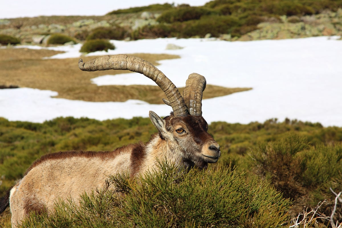 Standing alpine ibex, wild animal
