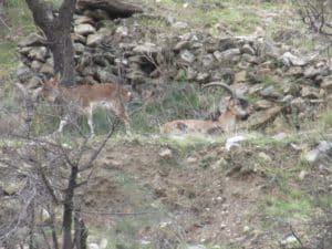 Sierra Nevada Ibex hunt report with Iberhunting