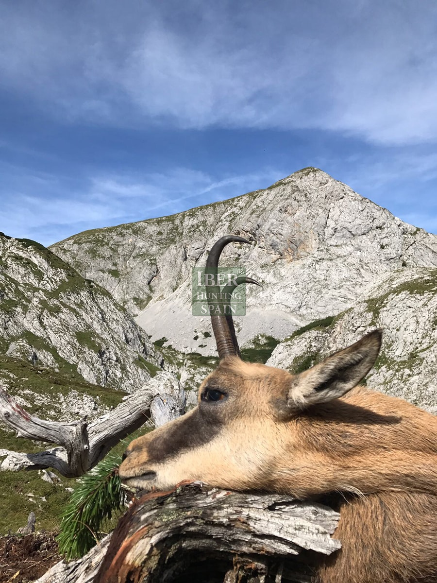 hunting pyrenean chamois with Iberhunting 8