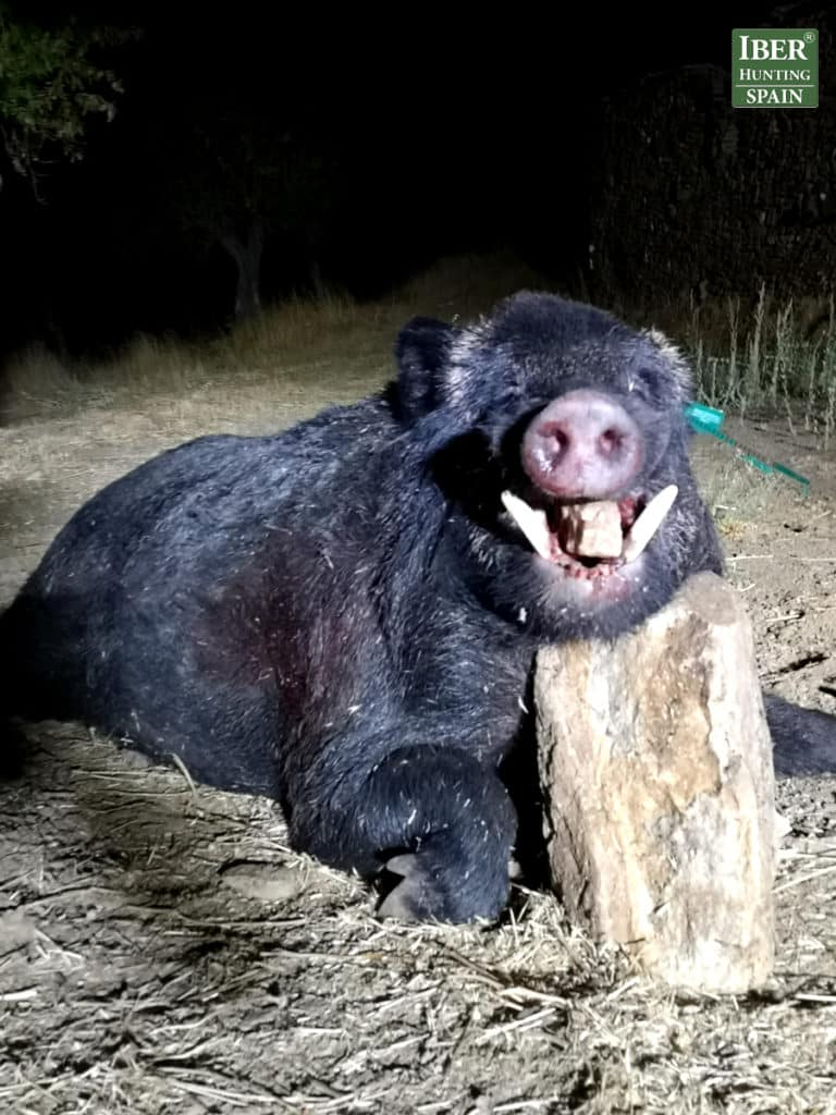 the black wild boar