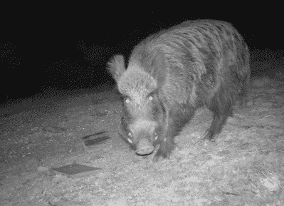 wild boar hunting-holidays in spain-Iberhunting Spain (2)