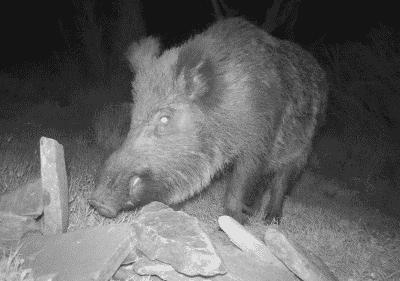 wild boar hunting-holidays in spain-Iberhunting Spain (3)