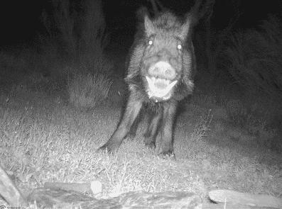 wild boar hunting-holidays in spain-Iberhunting Spain (4)