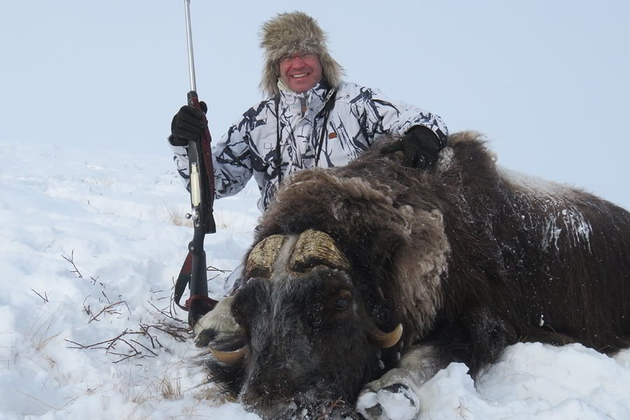 Hunt muskox in Greenland