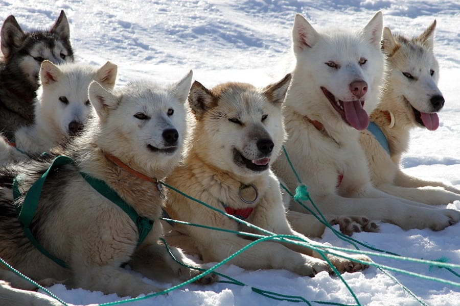 Dogs in Greenland