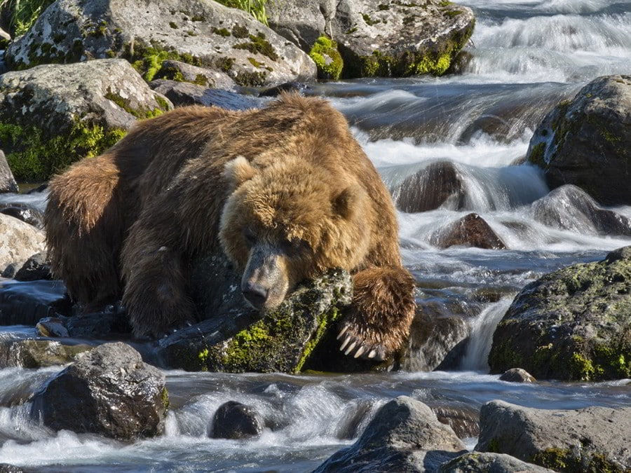 Hunt in Kamchatka - Brown Bear in Kamchatka