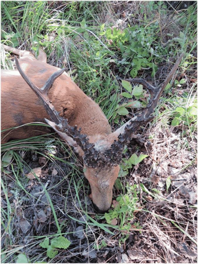 Hunt in Kazakhstan - Siberian roe deer trophy