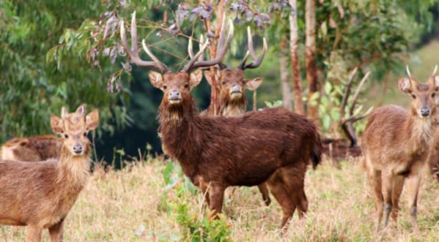 Hunt Java Deer in Maurtius Island