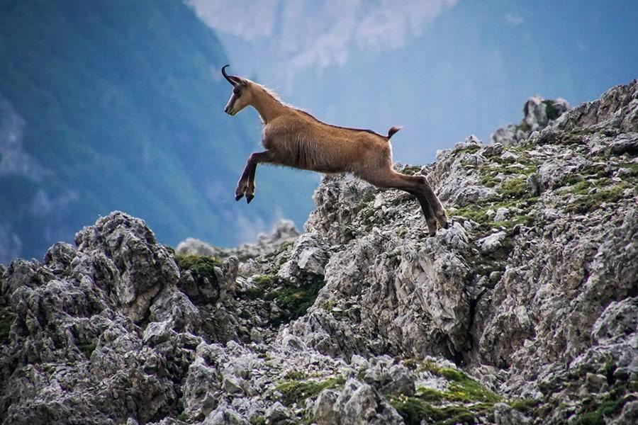 Chamois hunt in Poland