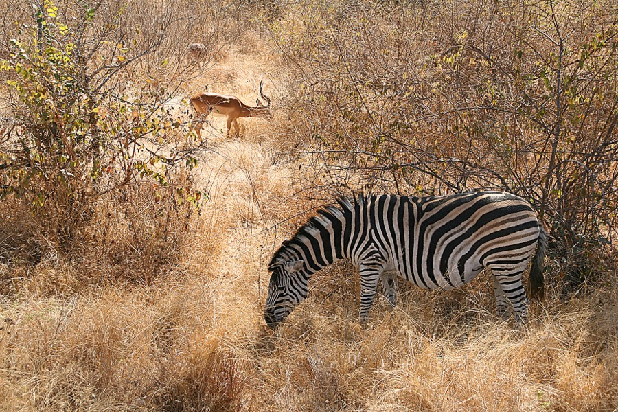 Animals in their habitat - hunt in South Africa