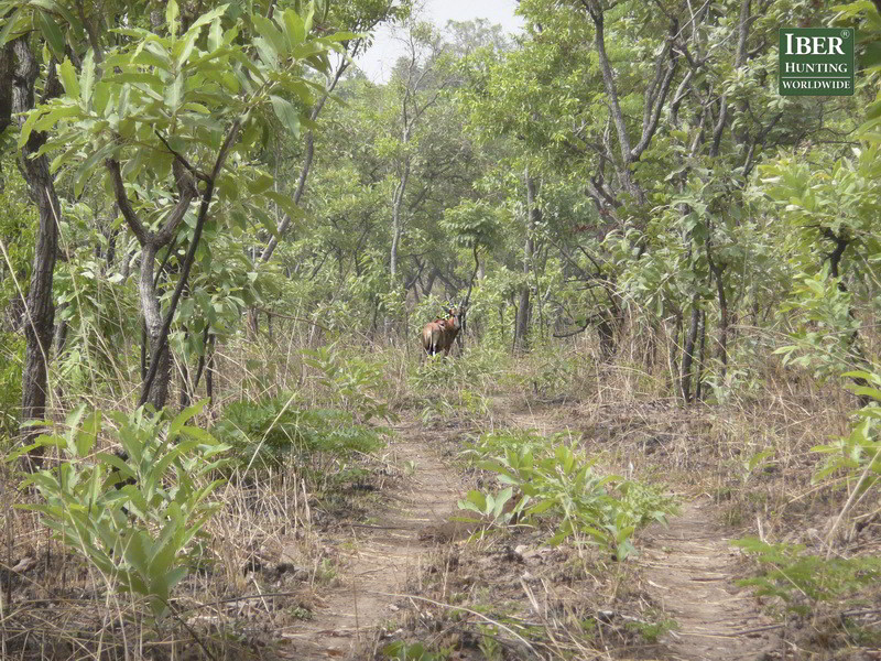 Hunting in the rain forest of Cameroon - Hunt in Cameroon