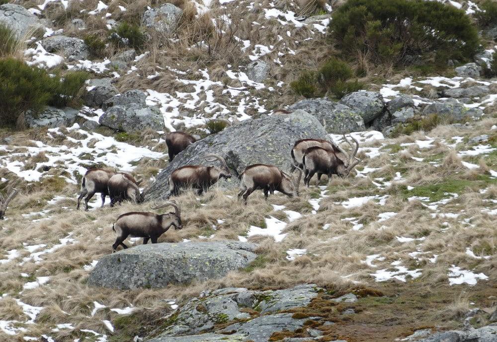 Group of Gredos ibexes on a mountain