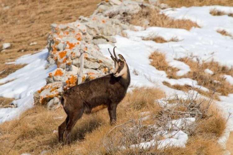 Pyrenean chamois in Spain