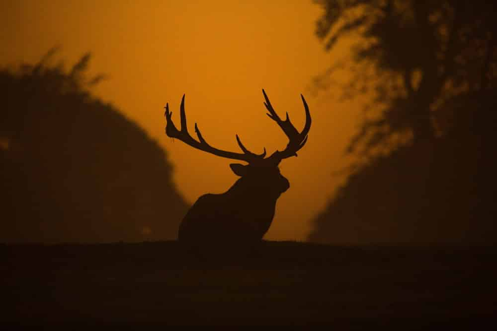 Shade of a Red Stag Deer