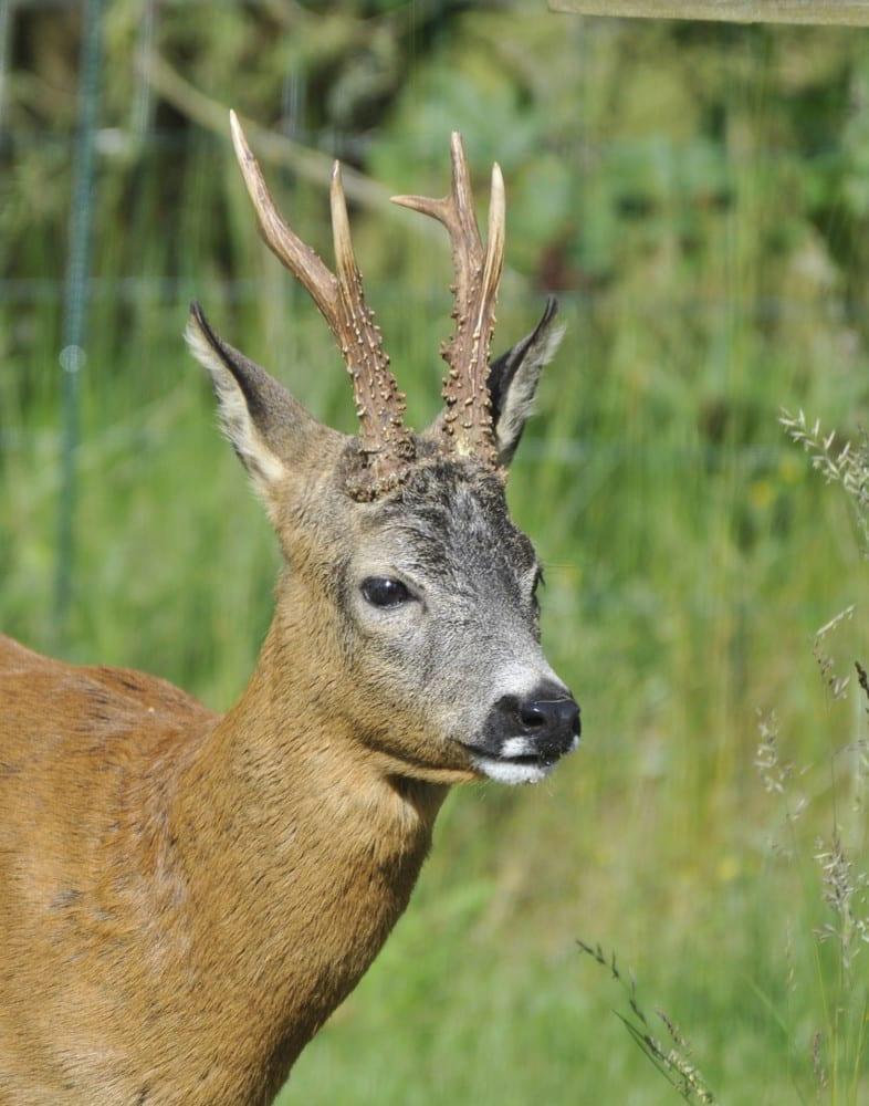 Roe Deer in Spain