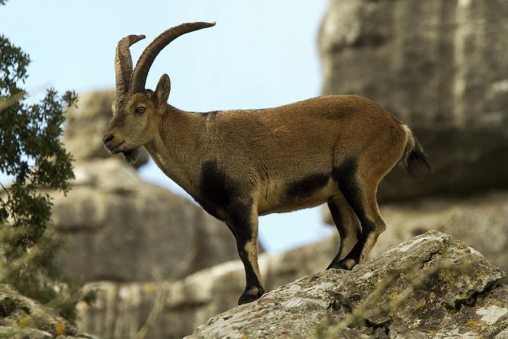 Ronda ibex on a rock