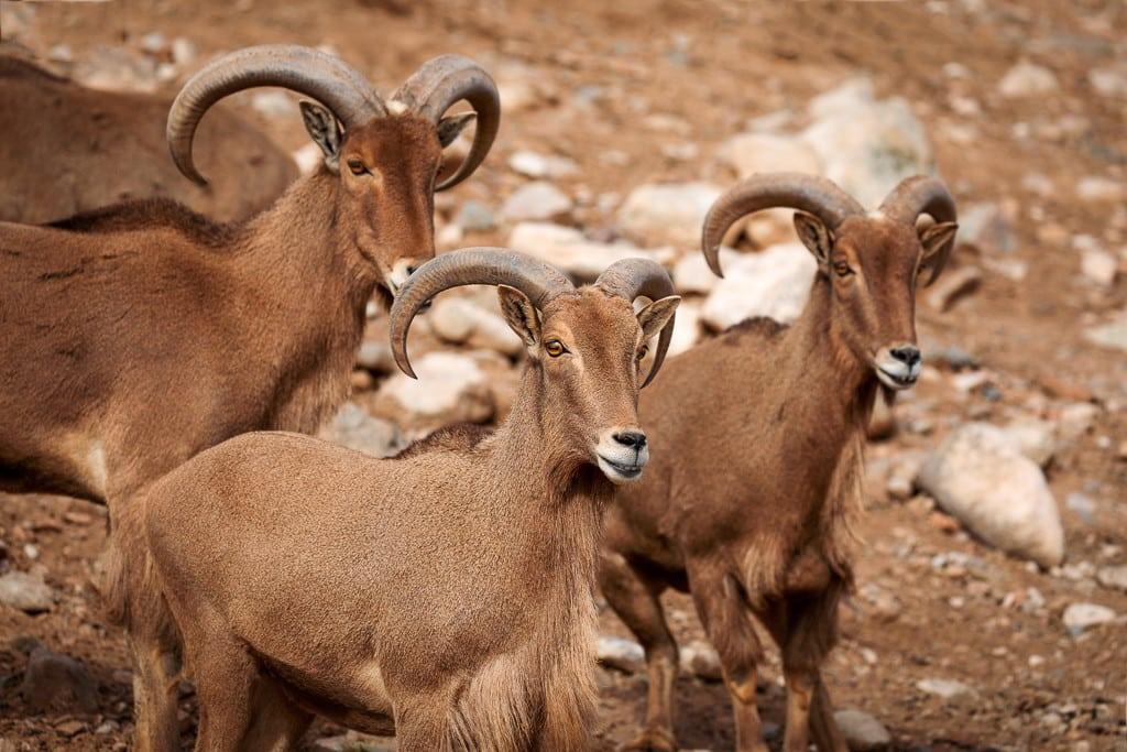 Three aoudad sheeps