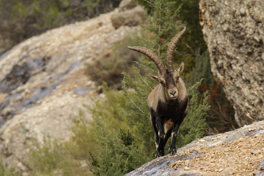 Beceite Ibex on the top of a rock