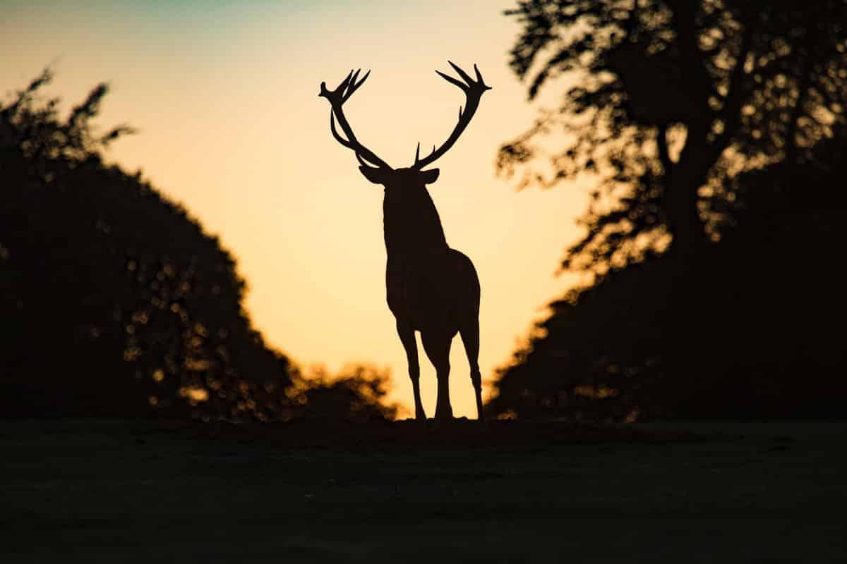 Red deer hunt in Poland