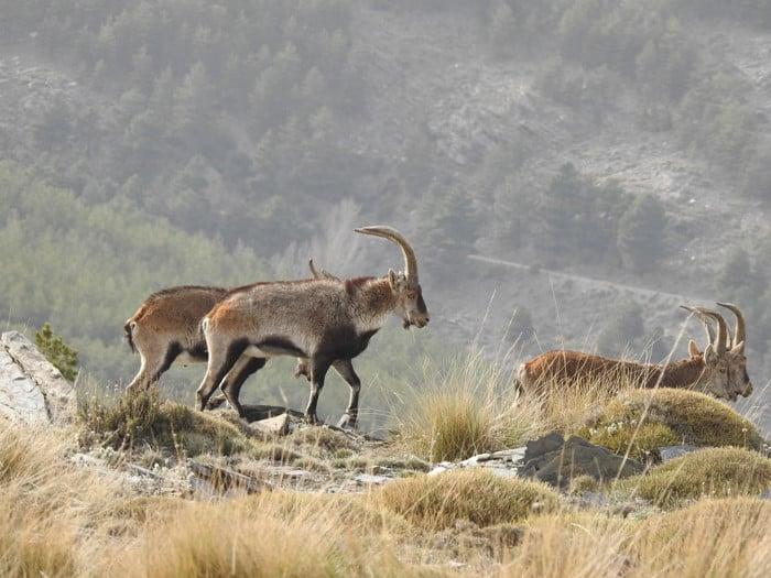 Spanish Beceite ibex