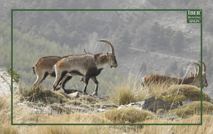 When in a Spanish ibex hunt you learn to be patient