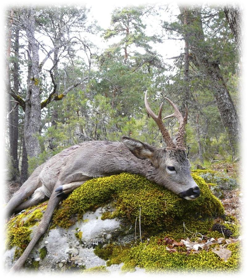 Hunting in Spain roe deer